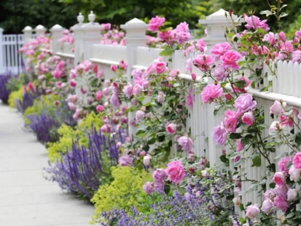 As rosas trepadeiras se destacam na cerca branca