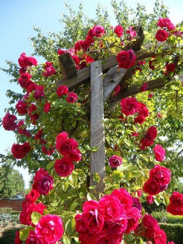 As rosas trepadeiras trazem cor para o jardim