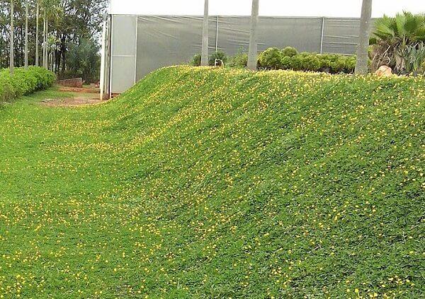 Como plantar grama amendoim em declives