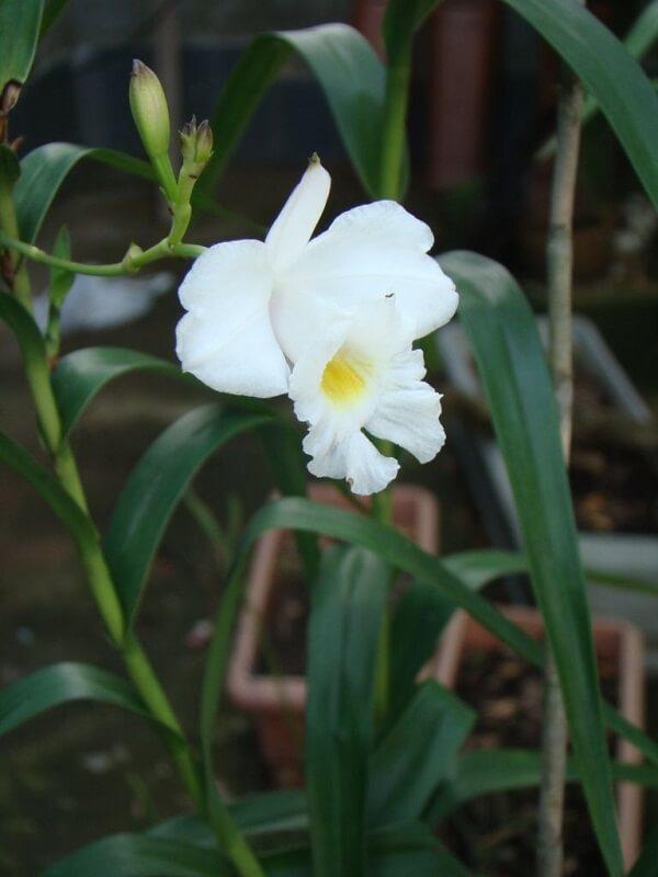 Cultivo no seu jardim uma linda orquídea bambu branca