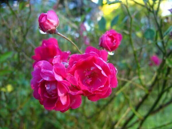 Delicada e colorida rosa trepadeira