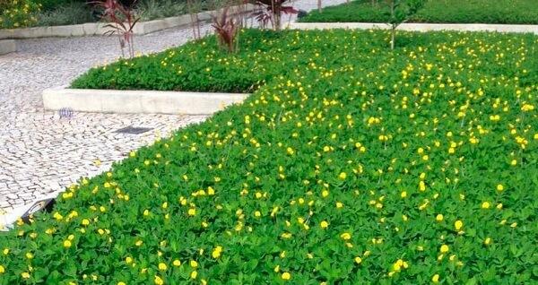 Jardim com grama amendoim florido