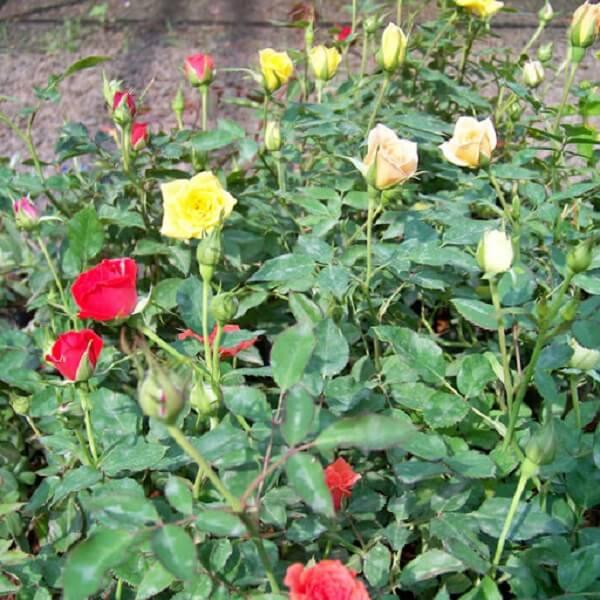 Jardim com mini rosa trepadeira