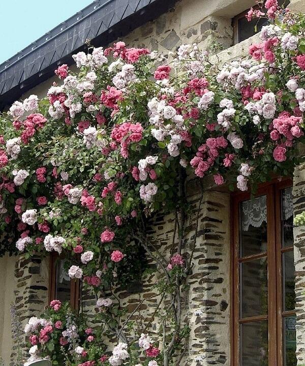Mescle diferentes tons da rosa trepadeira