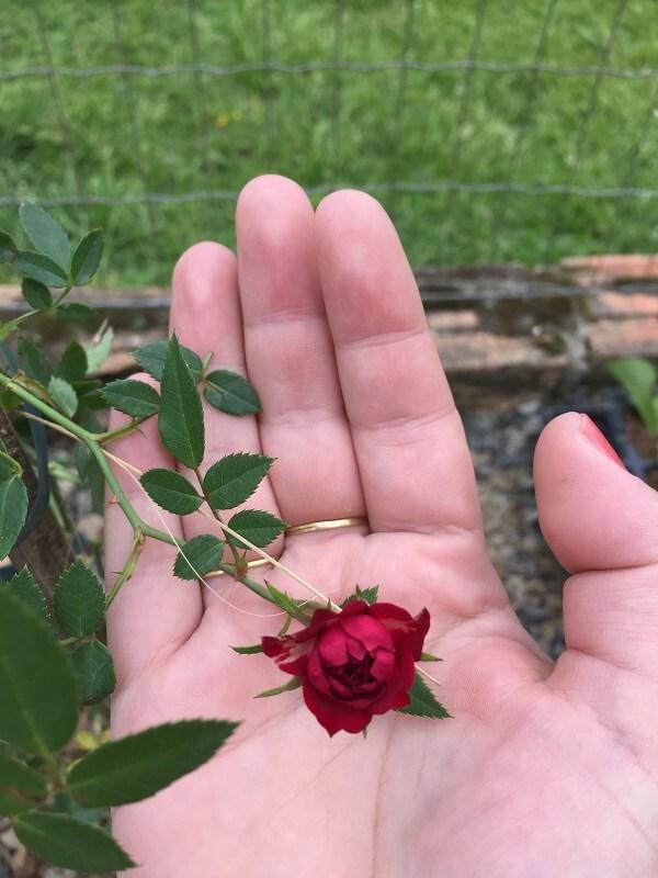 Mini rosa trepadeira na palma da mão