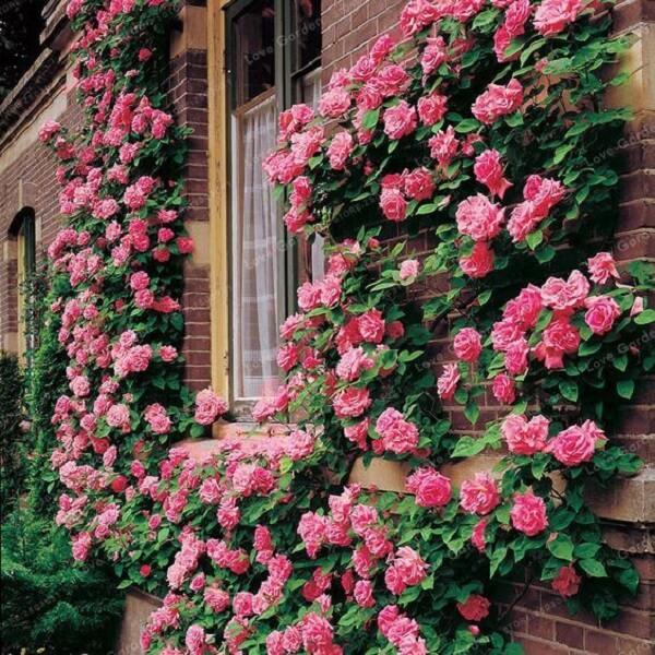 Plante a rosa trepadeira próxima as janelas da casa