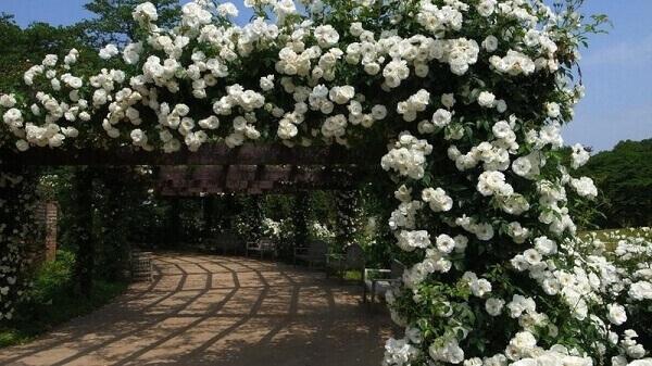 Rosa trepadeira é um arbusto que floresce durante a primavera