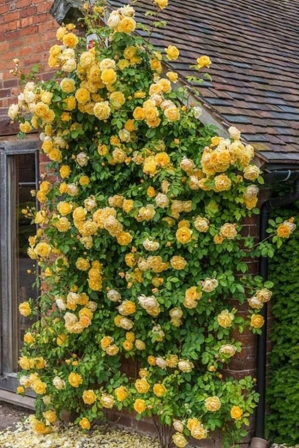 Rosa trepadeira amarela cultivada na fachada da casa