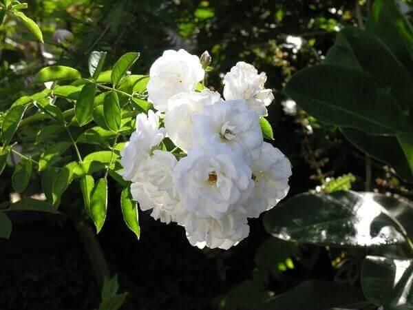 Rosa trepadeira branca em cachos