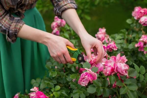 Rosa trepadeira como cuidar e manter a planta saudável