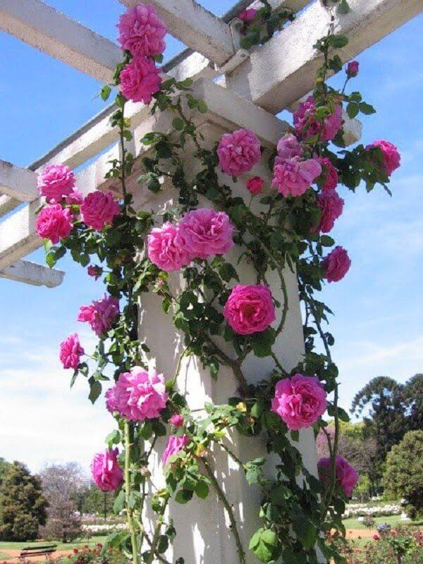 Rosa trepadeira como cuidar no jardim