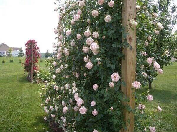 Rosa trepadeira plantada em estrutura de madeira