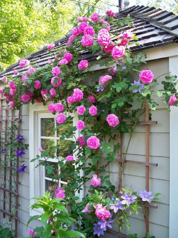 Rosas trepadeiras na lateral da casa