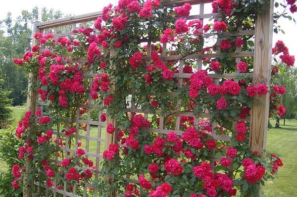 Rosas trepadeiras vermelhas trazem cor para o jardim