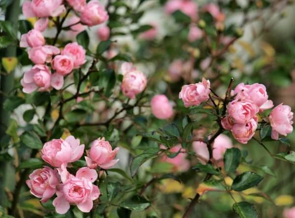 Se encante pela delicadeza da rosa trepadeira.