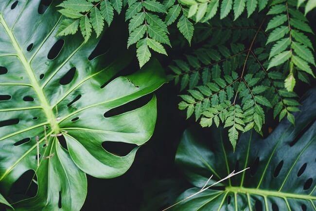 Se quiser incluir plantas para decorar a sala de estar a Costela de Adão é uma ótima alternativa