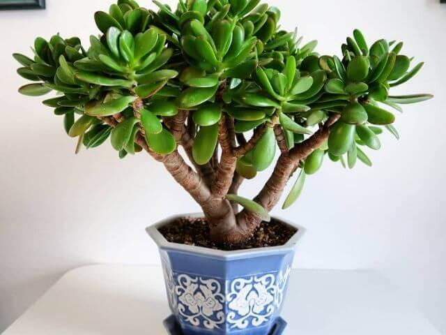 Aprenda como cuidar da planta jade