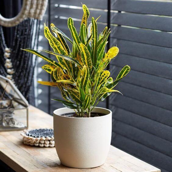 Croton amarelo