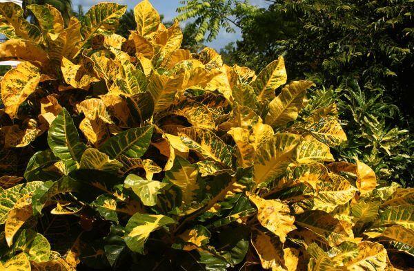 Planta cróton amarelo