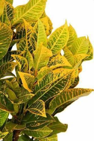 Cróton amarelo para decorar o jardim