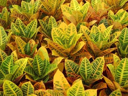 Cróton amarelo vibrante no jardim