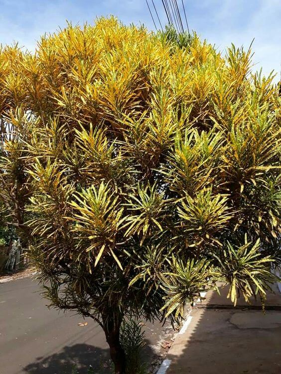 Croton brasileirinho no jardim de casa