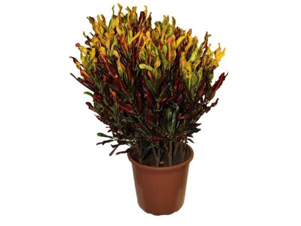 Vaso de cróton gingha