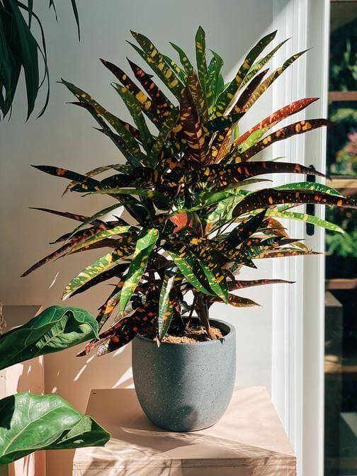 Croton no cantinho de casa