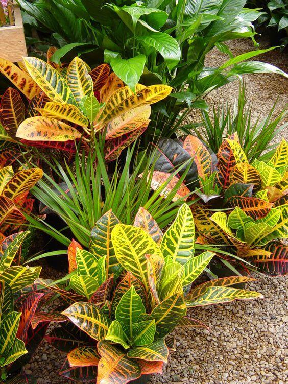 Croton no jardim de casa