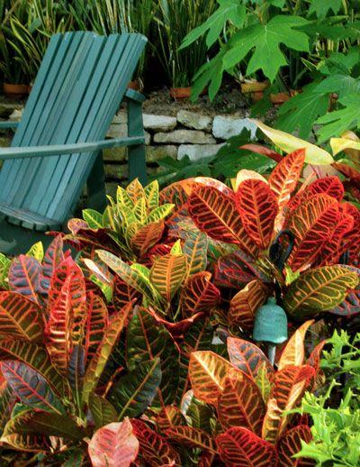 Croton no jardim em diferentes cores