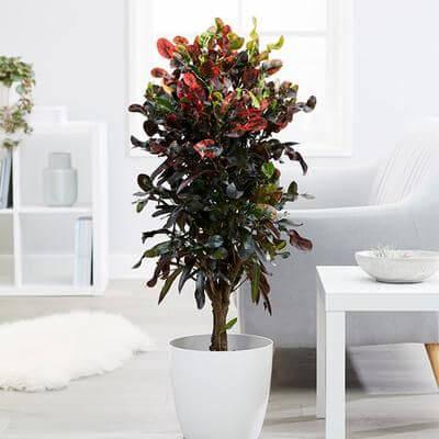 Croton no vaso branco ao lado do sofá