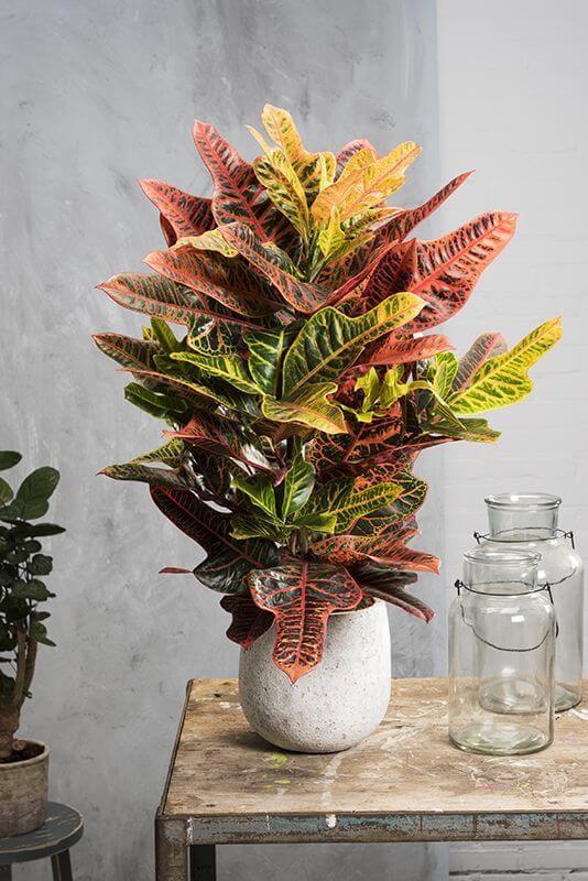 Croton no vaso de casa