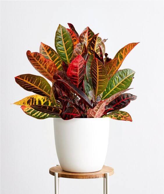 Croton petra na decoração de casa