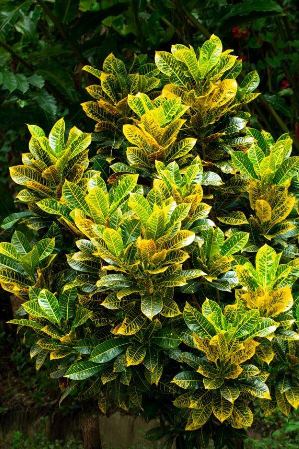 Croton no jardim