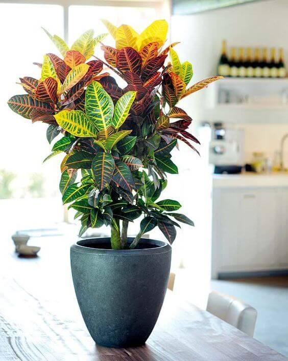 Vaso planta cronton