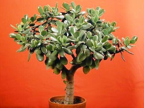 Decoração com vaso de planta jade