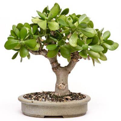 Decoração com vaso planta jade
