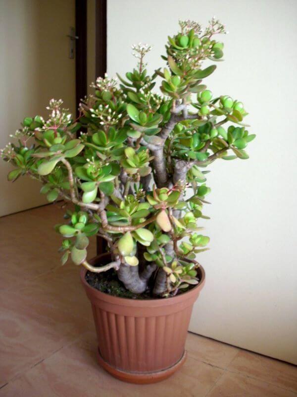 Muda de planta jade