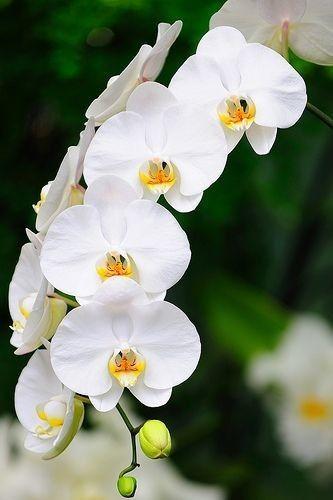 Orquídea branca na decoração de casa