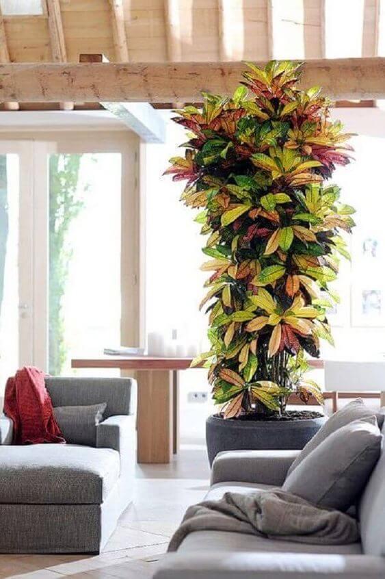 Planta croton na sala de estar