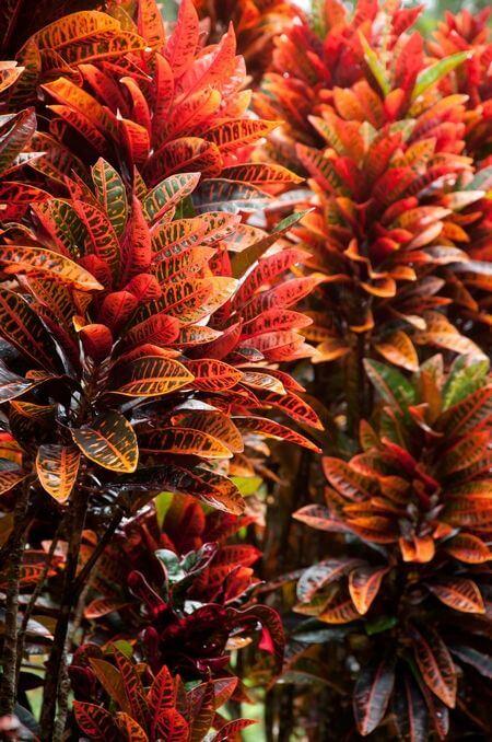 Planta croton vermelho