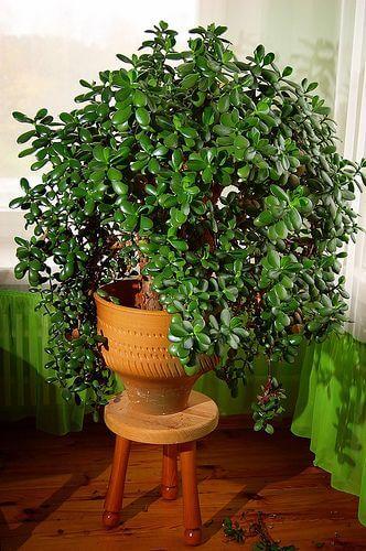 Planta jade árvore da amizade