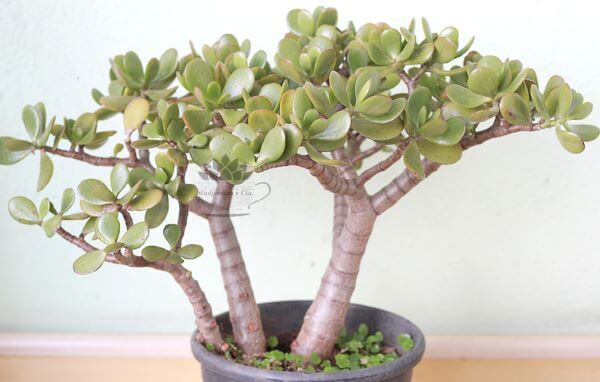 Planta jade decorando o mini jardim em casa