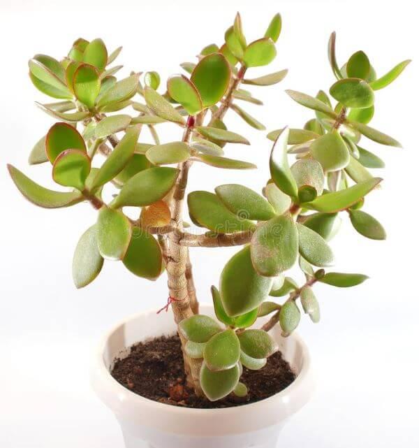 Planta jade crassula