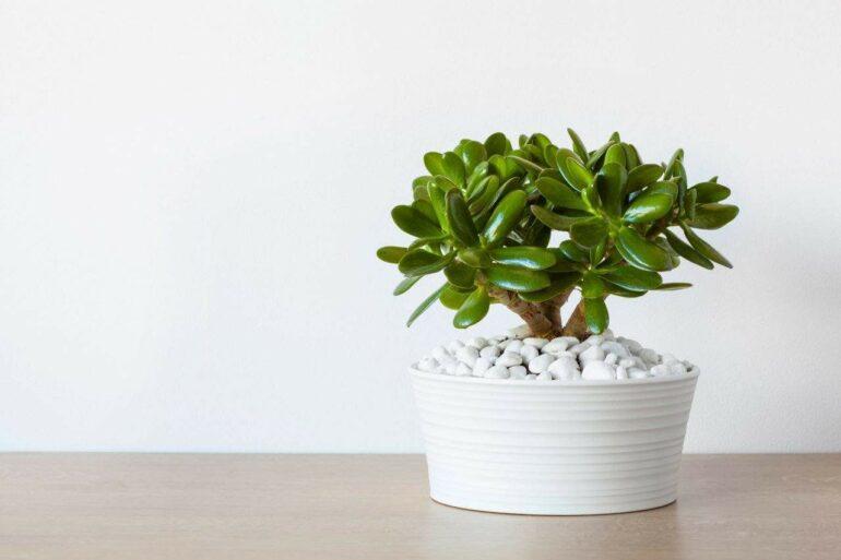 Planta jade na decoração - Via: Marcia Fernandes