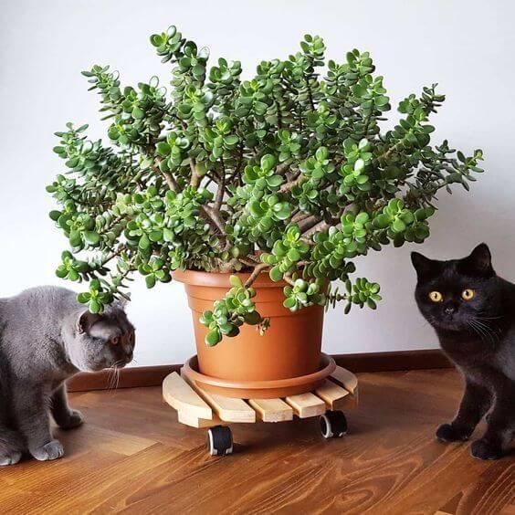 Decore sua casa com a planta jade