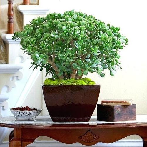 Planta jade na decoração de mesa de centro