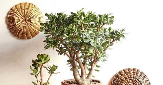 Planta jade decorando a casa