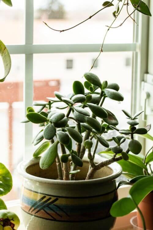 Planta jade pequena