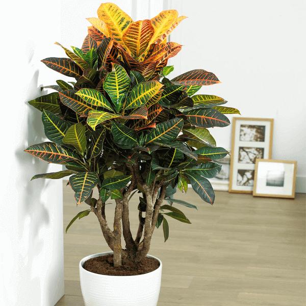 Croton na sombra de casa